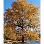 Yellow Poplar