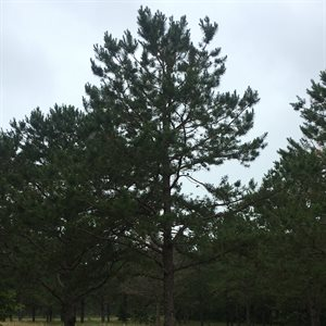 2nd Cycle Shortleaf Pine